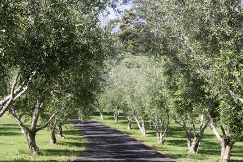 Olive tress and path
